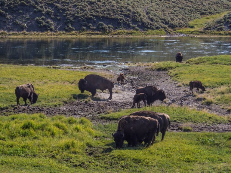 Bison grazing along the Yellowstone River in the Hayden Valley