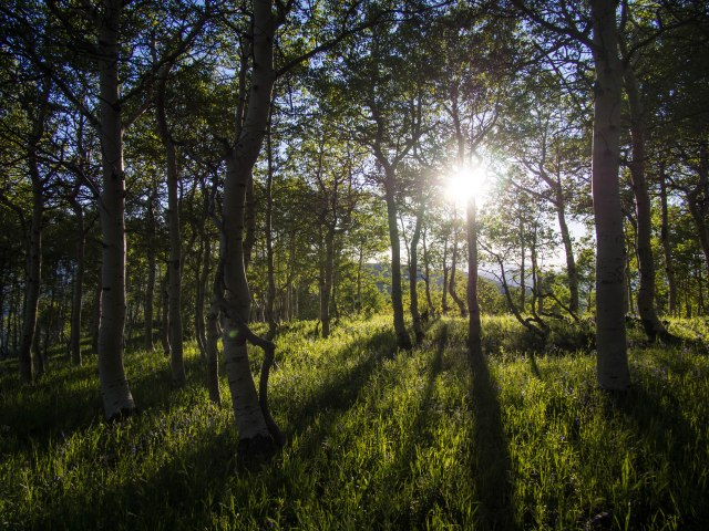 Sun setting through the aspens.
