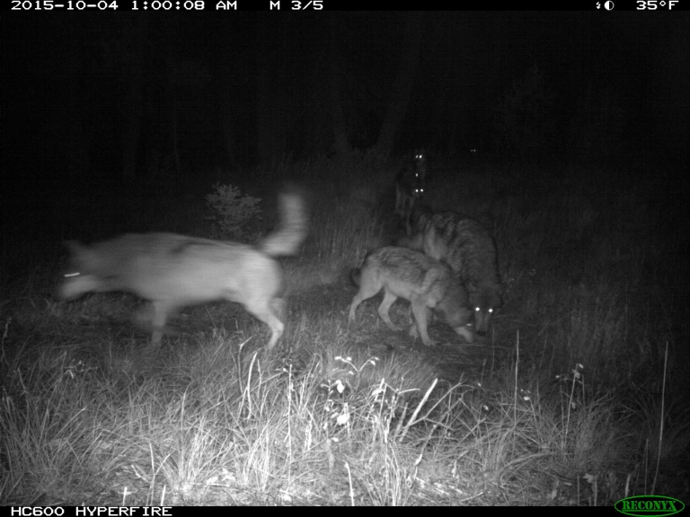 Th wolf on the left is one of the pups, though it is bigger than most dogs.