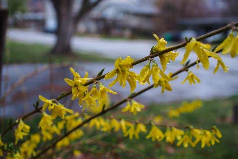 Forsythia in full bloom outside my house.