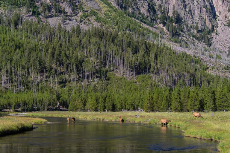 Elk in the Madison River